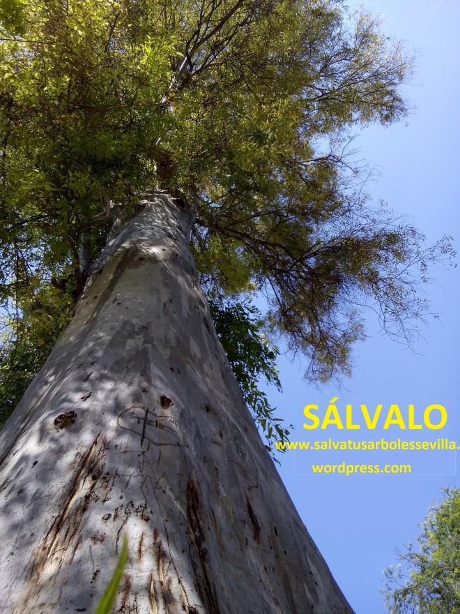 SALVALO, PICADO DESDE ABAJO, ARBOL. solo webjpg
